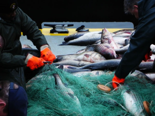 More Poaching Nets Found in Bay