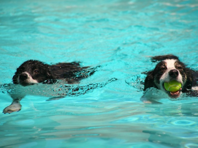 Dogs Go Diving at City Pool