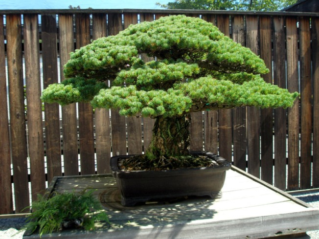 Bonsai Tree Survived Hiroshima, Now in D.C.