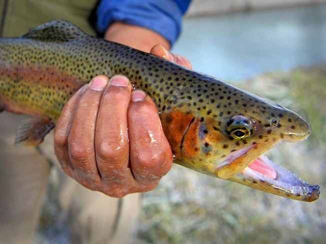 Maryland Stocking Waterways With Thousands of Trout