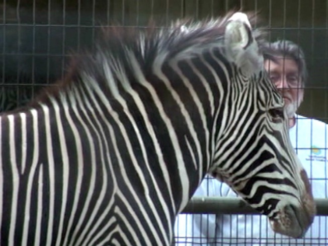 Dante the Zebra's Got a Hot Date... in South Dakota