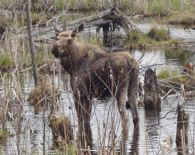 Canadian Woman Hits Moose, on Way to See Sister, Who Hit Moose