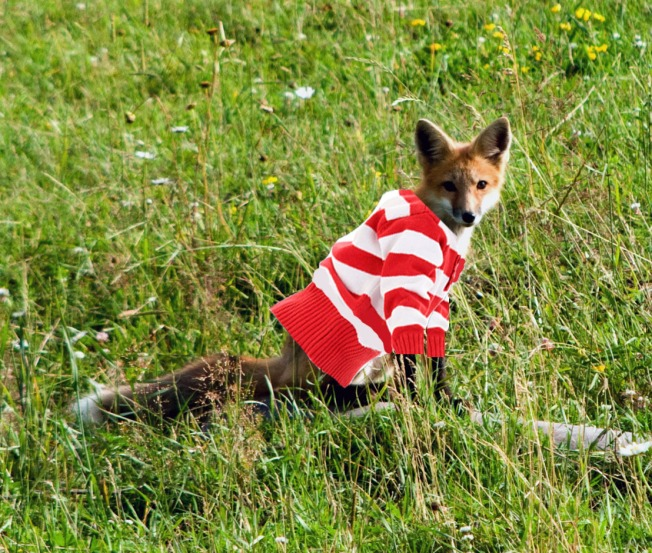 Be on the Lookout for a Sweater-Stealing Fox