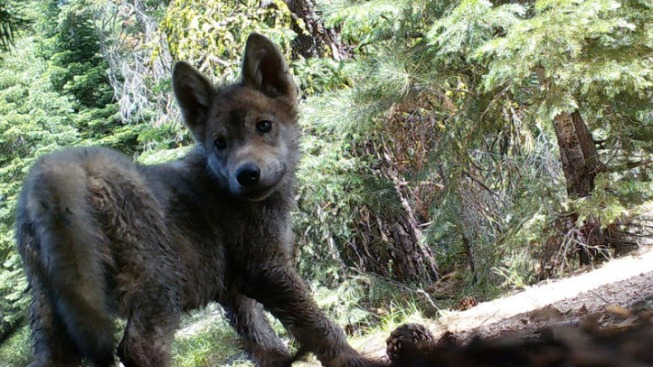 [NATL-BAY] Wolf Pack Spotted in Lassen County