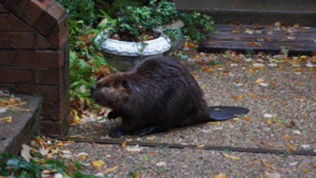 Floods Sweep Beavers Out of Dams and Into The Suburbs