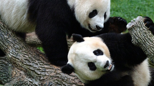 Panda Hormones, Hopes Rise Once More