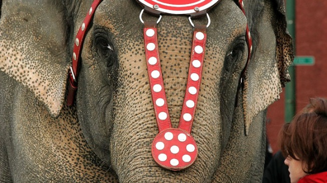 Vodka Saved Circus Elephants from Siberian Cold: Trainers