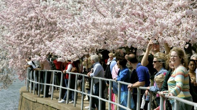 Cherry Blossom Fest Kicks Off