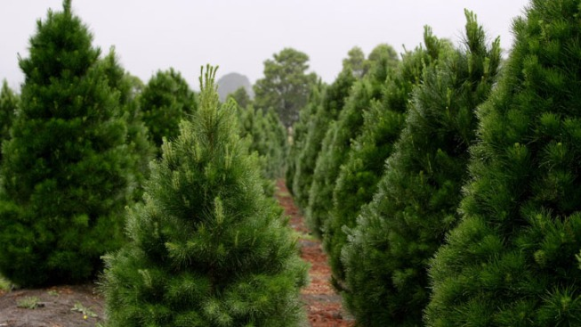 Guide Helps Virginians Find Locally Grown Christmas Trees