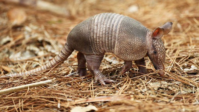 New Climate Change Feature: Free Armadillos
