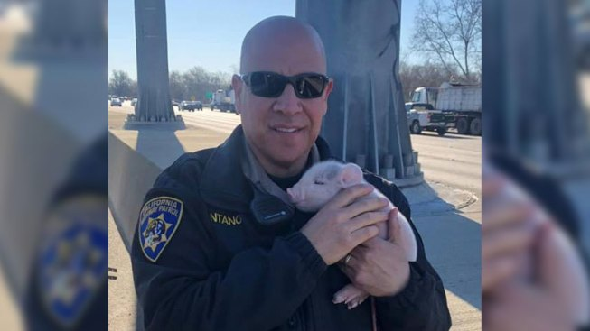Calif. Officer Comes to Aid of Stranded Newborn Piglets