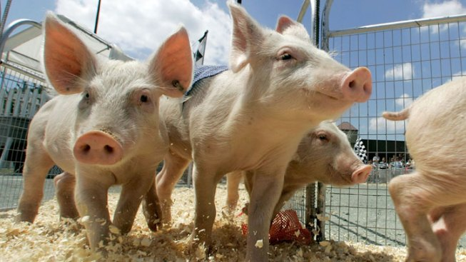 Steps Taken to Keep Md. Fair Free of Swine Flu
