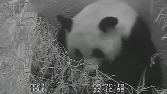 New: Panda Cub Gets Bath From Mom