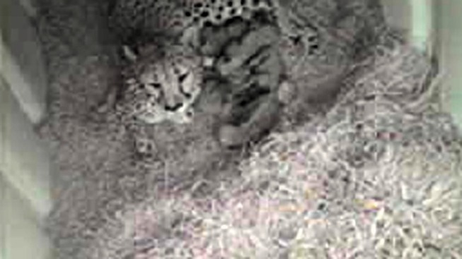 Newborn Cheetah Invasion Continues