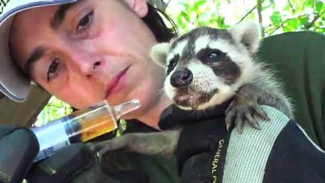 Baby Raccoons Rescued, Reunited With Mom