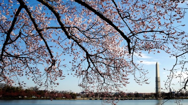 Your Weekend Planner: Cherry Blossom Festival Fun