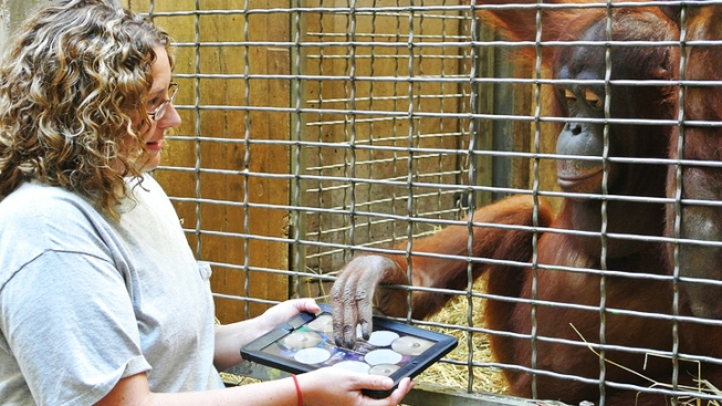 Apps for Apes: Zoo's Orangutans Play With iPads