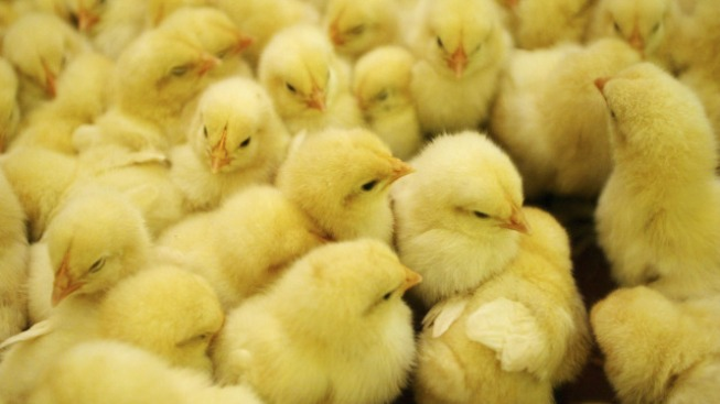 40,000 Baby Chicks Die in Fire