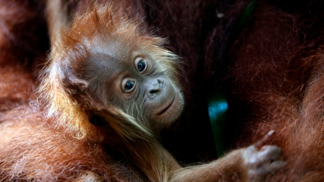 Orangutans Get Special Screening of Orangutan Movie
