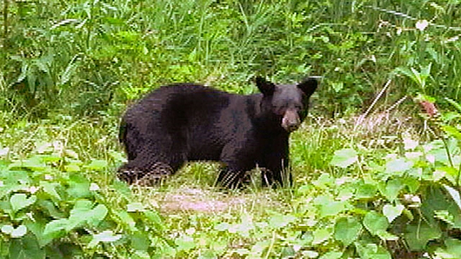 Bears Spotted in Northern Virginia