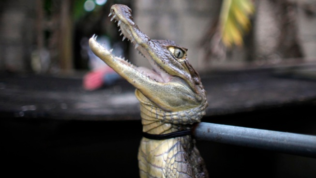 Puerto Ricans Fight Back Against Caiman Onslaught