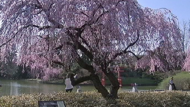 Cherry Blossom 10-Mile Run Closes D.C. Streets