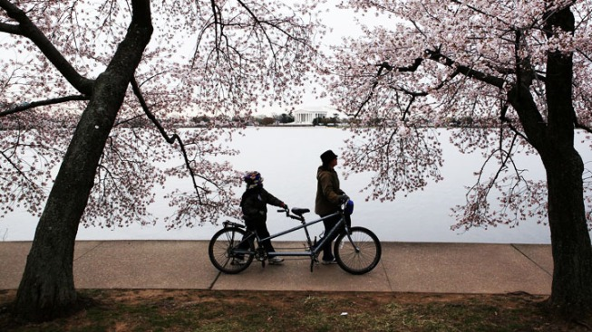Final Day of Cherry Blossom Festival