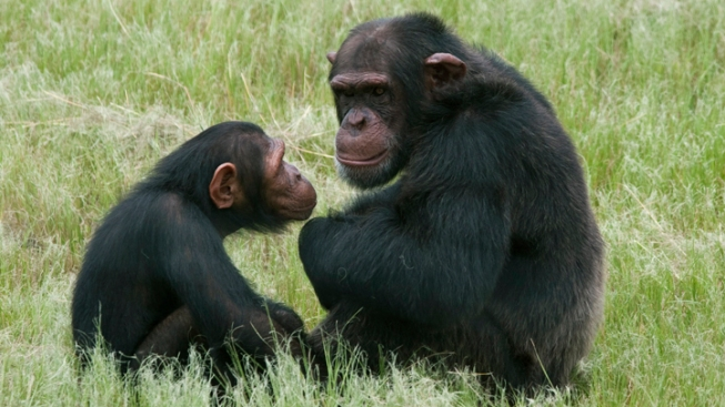 """Even Apes Have """"Midlife Crises,"""" Study Finds"""