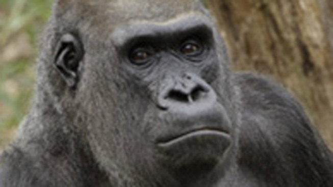 National Zoo's Only Wild-Born Gorilla Dies