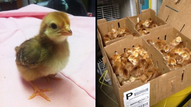 D.C. Post Office Gets 106 Baby Chicks After Shipping Mix-Up