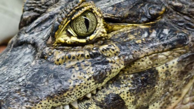 Fugitive Crocodile Captured in Gaza After 2 Years Terrorizing Neighbors