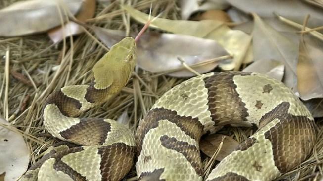 Man Bit by Snake on Potomac