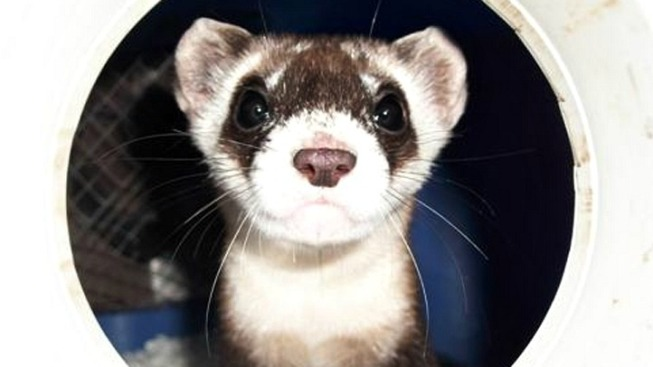 Help Name Endangered Ferret