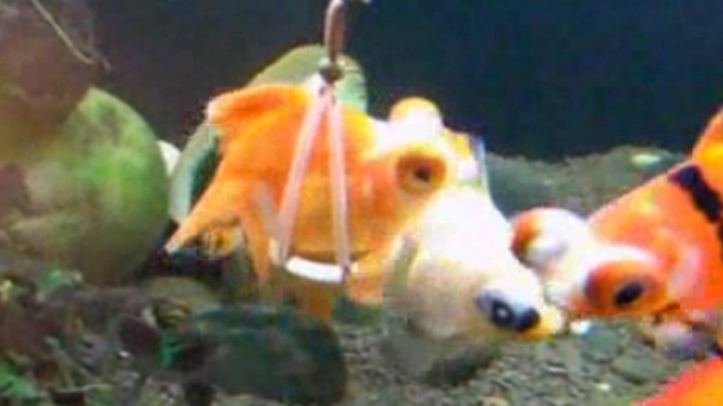 WATCH: Sling Helps Disabled Goldfish Swim