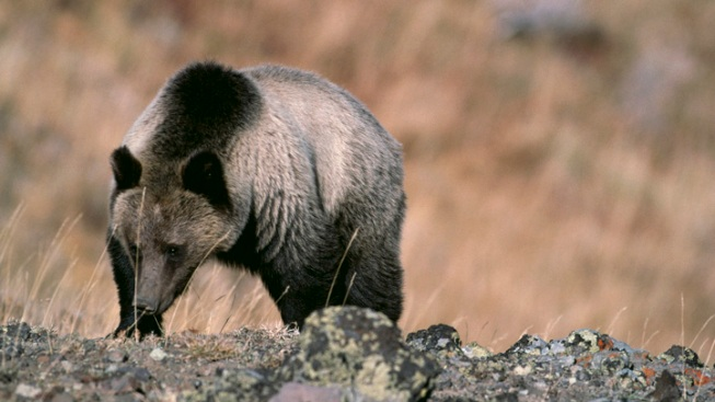 Grizzly Bear Kills Hiker in National Park