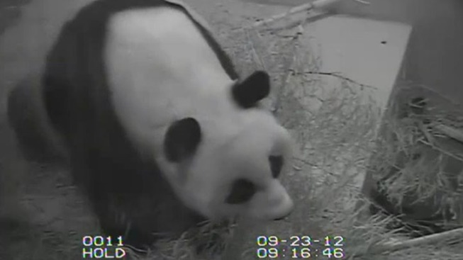Zoo to Release Cause of Panda Cub's Death