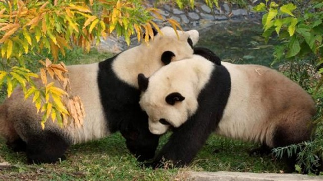 Panda Pregnancy Hopes Begin Anew