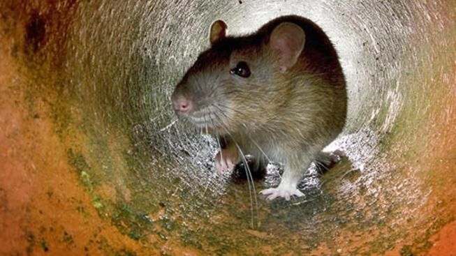 "D.C. Officials to Hold Online ""Rat Summit"""