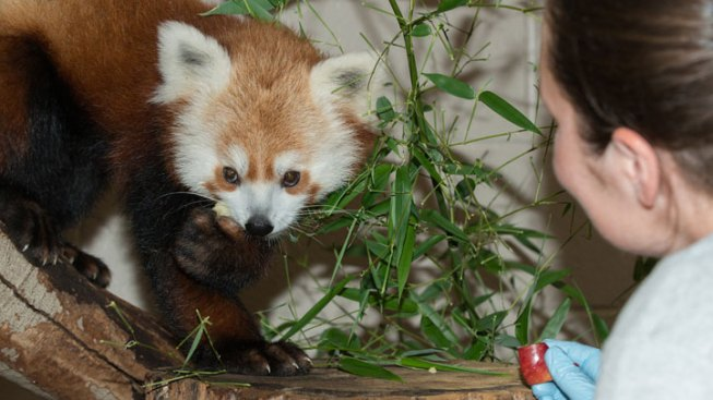 Red Panda Escaped National Zoo via Tree Canopy, Keepers Say