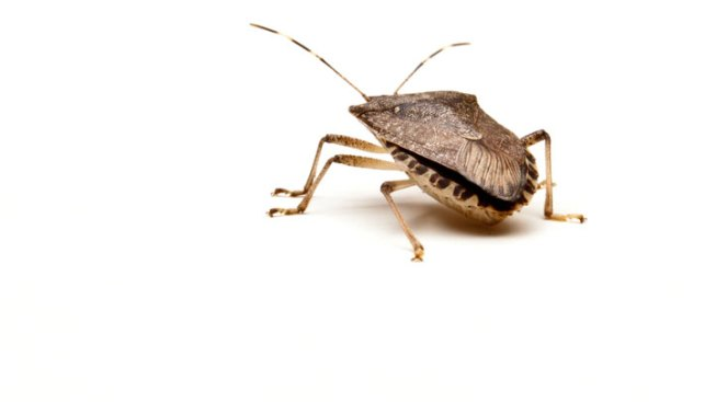 Save Your Crops! Stink Bugs Are Heading Outdoors