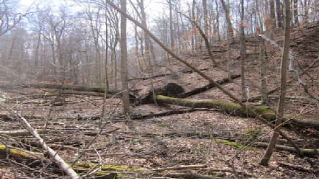 2010 National Tree Champion Found Fallen in Maryland