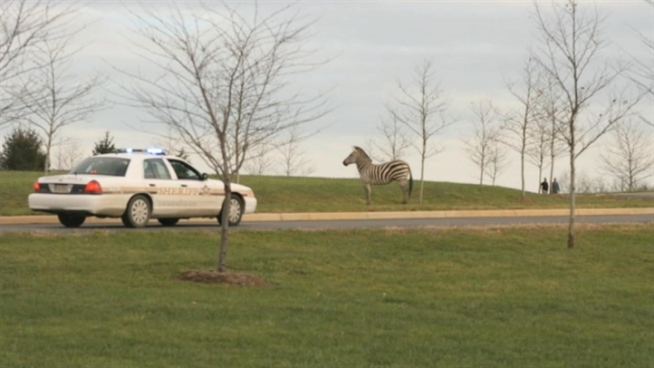 Some residents in Virginia had some unexpected visitors in their neighborhood.  Two zebras ran away from an Animal Park in Loudoun County, VA.Shomari stone spoke with one woman who caught it all on her camera.
