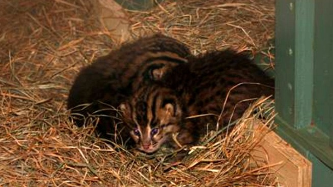 Twin Fishing Cats Born at National Zoo