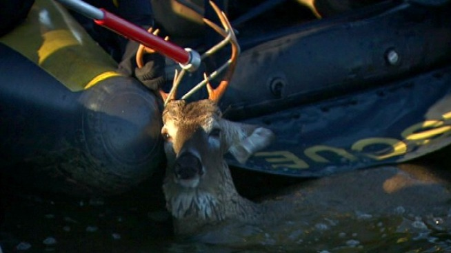 A wayward deer took an unscheduled swim break Friday morning.