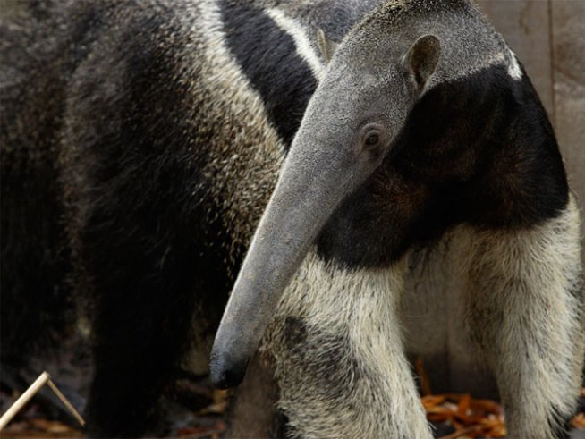 Zoo Celebrates Holidays With (Tiny) 'Giant' Anteater