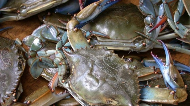 Chesapeake Bay Blue Crabs Spawning Like Jackrabbits