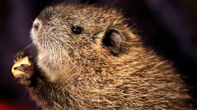 Woodchucks Suspected in NY Cemetery Flag Thefts