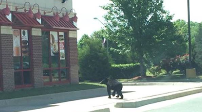 Bear Spotted Walking Outside Arby's in Leesburg