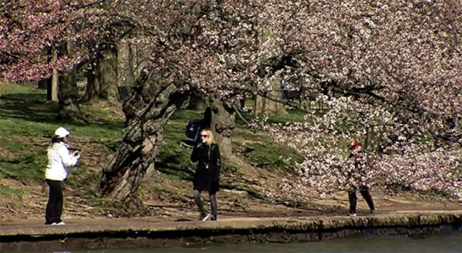 Cherry Blossoms Are OK Despite Near-Freezing Temperatures
