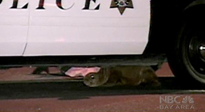 Scared Sea Lion Pup Settles in Under Squad Car